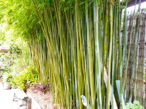 Charlie's Bamboo | Non-Invasive Clumping Bamboo Plant Nursery NZ